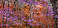 Red Bud (Cercis canadensis) No II